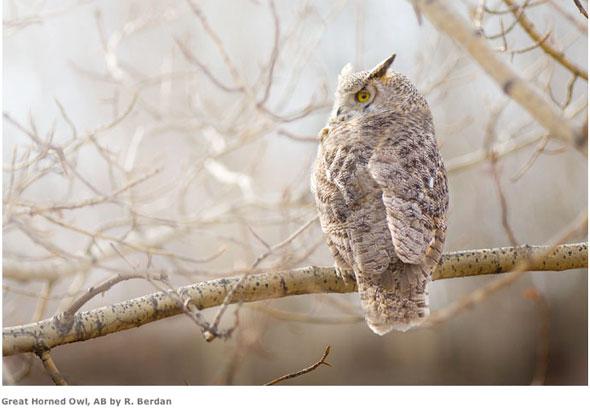 RB_Owl