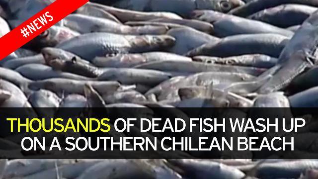 dead fish chilean beach